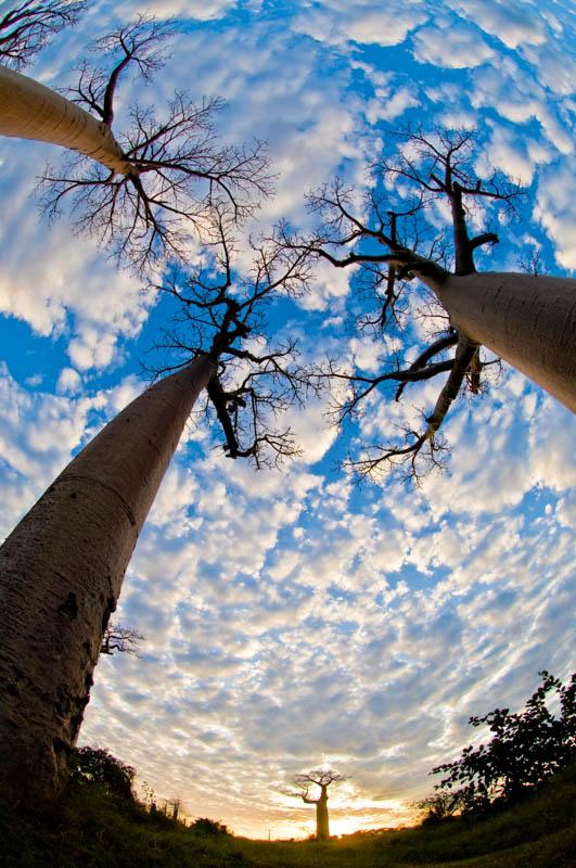 VE08-baobabs-desde-abajo-en-madagascar-inaki-relanzon
